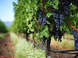 grape_wine